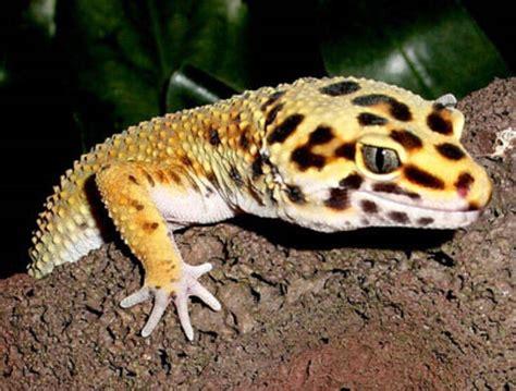 leopard gecko geckos lizards virtual university of pakistan
