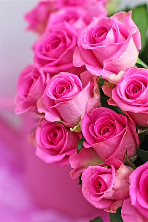 valentines day pink roses   fun