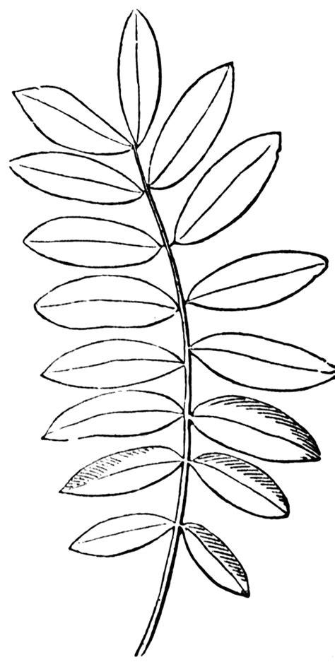 compound leaf clipart