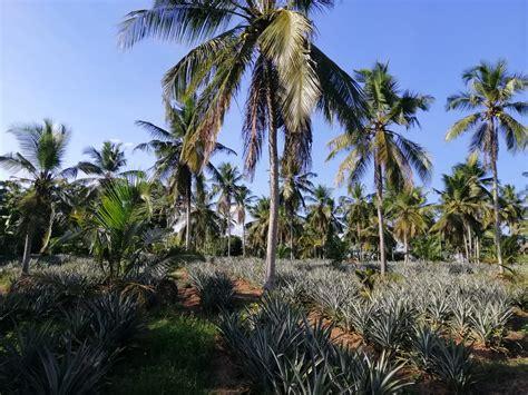 Coconut Land For Sale In Divulapitiya | Maradagahamulla ...