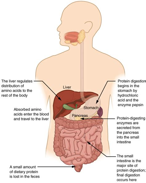 file digestion  proteins physiologyjpg