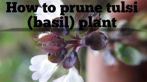 How To Prune Tulsibasil Plantenglish2017 Youtube