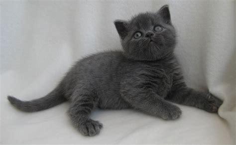 shorthair kittens for sale 2 beautiful shorthair kittens for sale