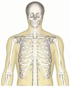 File Human Skeleton Upper Body Anterior View Jpg