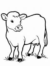 Coloring Pages Cows Animal sketch template