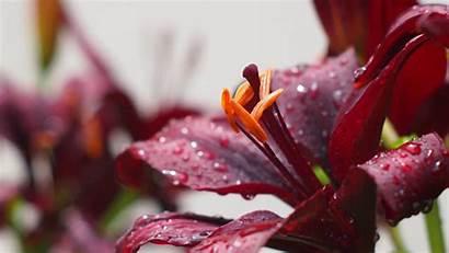 Flowers Burgundy Flower 4k Drops Water Desktop