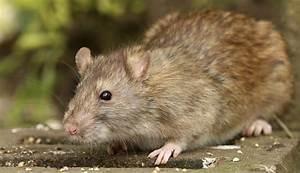 Ratten Bekämpfen Im Garten : sch dlingsbek mpfung hamburg und kammerj ger hamburg rattenbek mpfung ratten bek mpfen ~ Michelbontemps.com Haus und Dekorationen