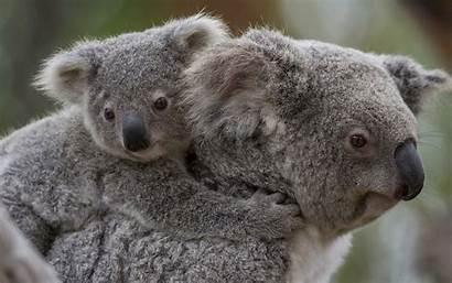 Koala Wallpaperup Wallpapersafari Code