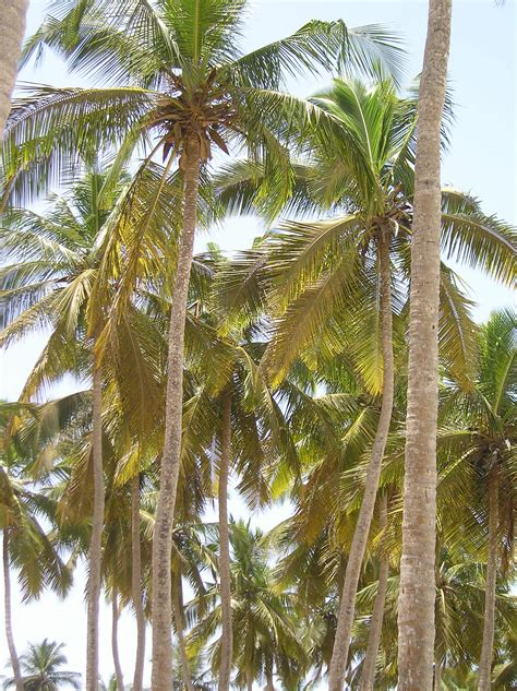 plant coconut palm trees garden guides