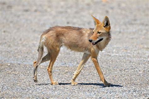 Desert Coyote Adaptations to The