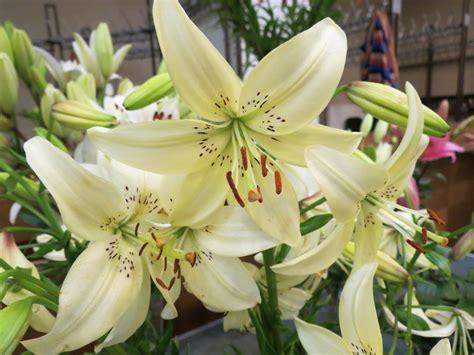 Liliju ziedu izstāde | biedribasnams.lv
