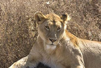 Lion Female Lions Last Ngorongoro Wallpapers African