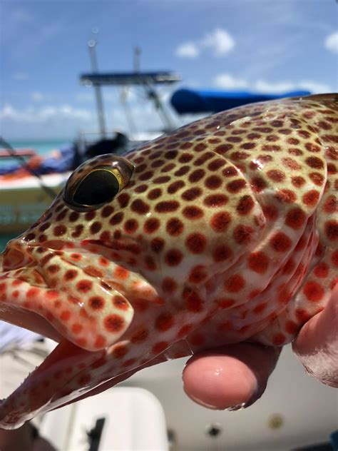 strawberry grouper turks shore caught comments tastes caicos