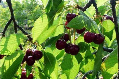 目前最好的大樱桃品种是什么 大樱桃如何修剪 - 致富热