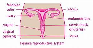 Your Menstrual Cycle Simply Explained