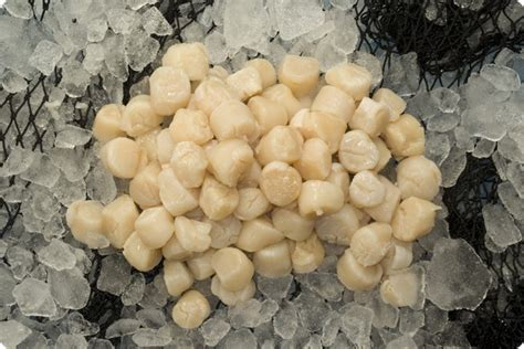 frozen scallops recipe top 28 frozen scallops top 28 frozen scallops recipe china frozen scallop scallops in