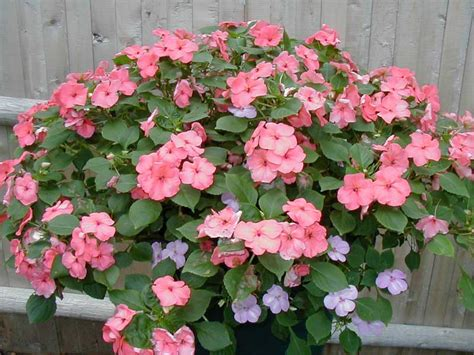 types of annual plants pictures of annual flowers beautiful flowers
