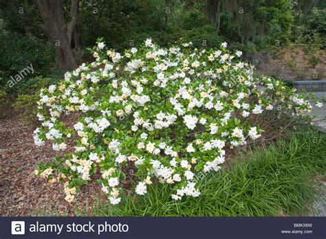 Gardenia Picture by Gardenia Jasminoides Stock Photos Gardenia Jasminoides