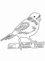 Canary Coloring Pages Birds Printable Colors Recommended sketch template