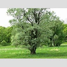 Cottonwood Tree Facts  How Fast Does A Cottonwood Tree Grow