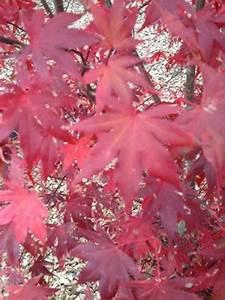 Roter Japanischer Ahorn : acer palmatum 39 atropurpureum 39 auf stamm roter f cherahorn japanischer ahorn g nstig kaufen ~ Frokenaadalensverden.com Haus und Dekorationen