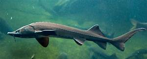 Ancient Fish Makes a Comeback in the Tennessee Valley ...