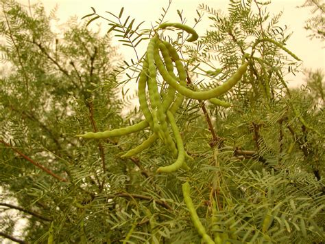 mesquite tree seed pods picslearning