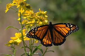Death Of A Dynasty  West North America Lost Over 95  Of Its Monarch Butterflies In 35 Years