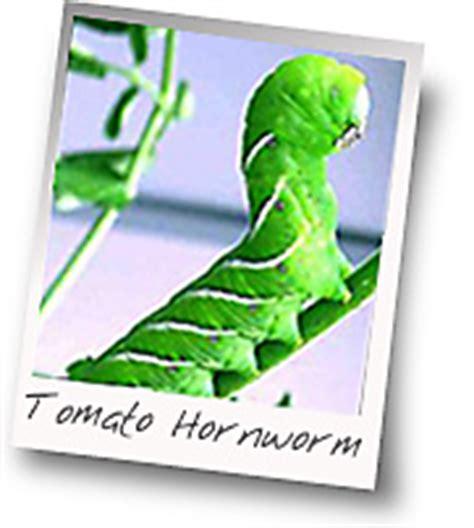 rid  tomato hornworms   garden