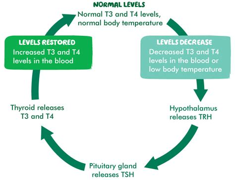the thyroid gland understanding macmillan cancer support