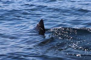 Mainers keep lookout in wake of shark reports - Portland ...