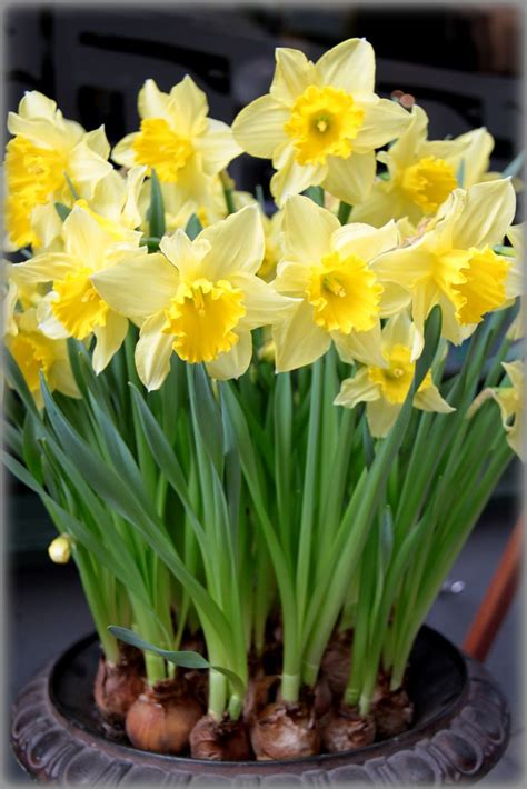 17 best images about narcissus on gardens