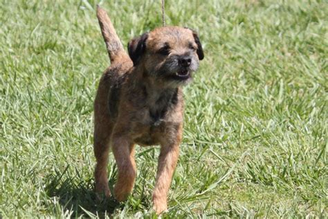 border terrier breed information border terrier images