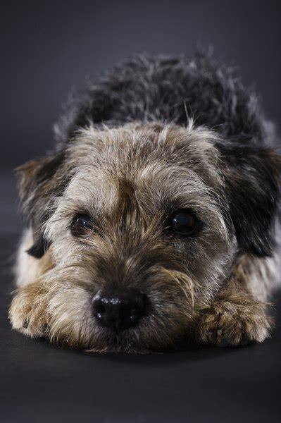 grooming  thinning  border terrier pets