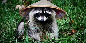 One of the handful of things China doesn't make — Raccoons ...