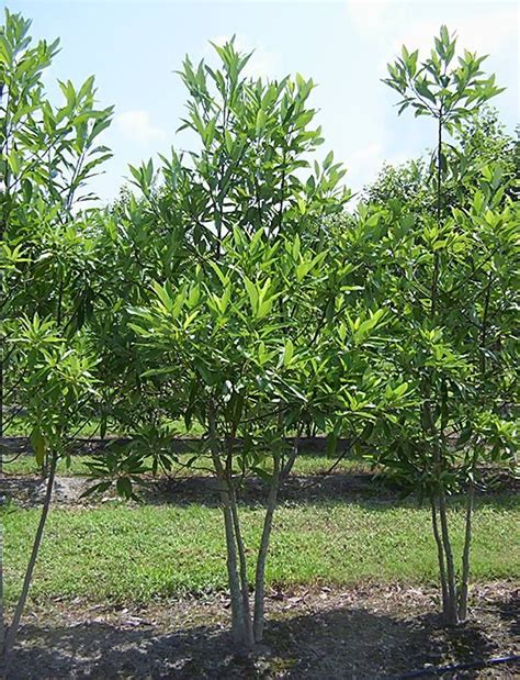 Sweetbay Nursery by Magnolia Virginiana Sweetbay Magnolia Small Deciduous