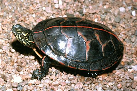 painted turtle turtles in oklahoma