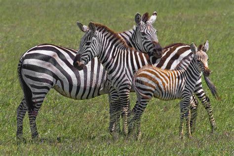 Zebra Family Stock Images