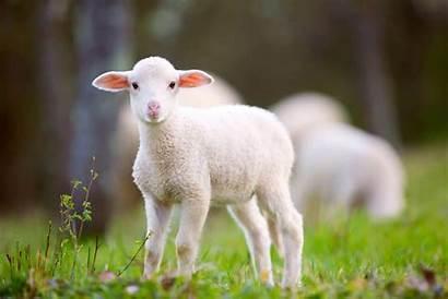 Lamb Lammetje Lambs Carneiro Babydieren Meadow Dieren