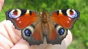 Bedeutung Schmetterling In Der Wohnung : von der raupe zum schmetterling tagpfauenauge youtube ~ Watch28wear.com Haus und Dekorationen