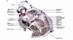A  Cardiac Conduction System 1a  Right Heart  The Sinus