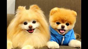 Best Boo The Cutest Dog Compilation 2014 [HD] AHF - YouTube  Cutest