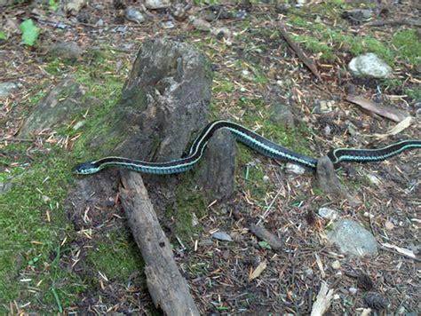 garden snake extermination 28 images garter snakes