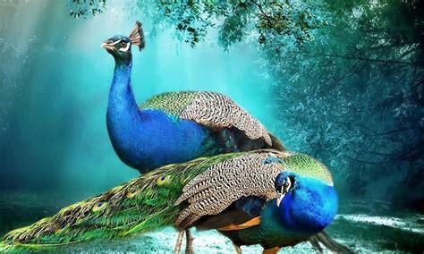 beautiful background peacock pair hd wallpaper beautiful