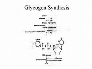 NEW GLYCOGEN DEGRADATION STEPS | Glycogen