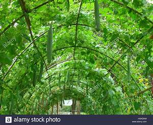Foliage Tunnel Of The Luffa Plants At The Botanical Garden  Thailand Stock Photo  130734904