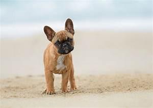Hundebekleidung Französische Bulldogge : franz sische bulldogge steckbrief mein ~ Frokenaadalensverden.com Haus und Dekorationen