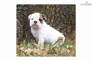Beautiful White with Fawn Brindle Spots   English Bulldog ...