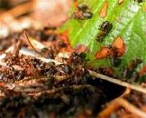 Ameisen Im Garten : hausmittel gegen ameisen im haus das hilft wirklich ~ Frokenaadalensverden.com Haus und Dekorationen