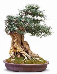 bonsai mnchen affordable windswept bonsai w strong With garten planen mit bonsai 1000 years old